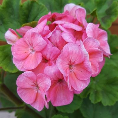 Купить Пеларгония зональная Рафаэлла F1 розовая