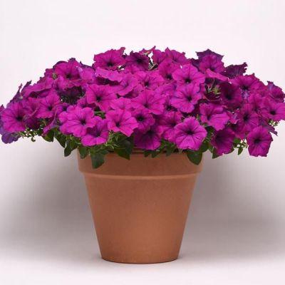 Купить Петуния Изи вейв (Волна) F1 фиолетовая