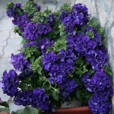 Купить Петуния каскадная Синий водопад F1 махровая крупноцветковая