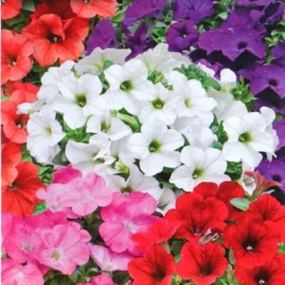 Купить Петуния обильноцветущая смесь окрасок