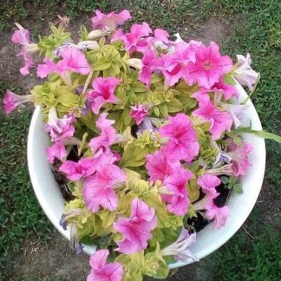 Купить Петуния Сферика F1 Роз Вейнед крупноцветковая