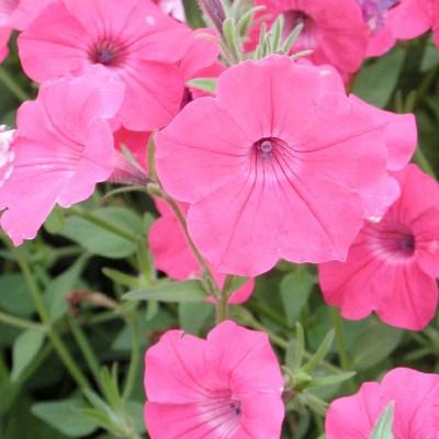 Купить Петуния Прилив розовый (Тайдал Пинк)