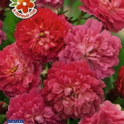 Купить Роза Китайская Энджел Вингс