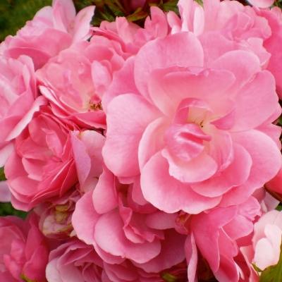 Купить Роза полиантовая Ангельская роза