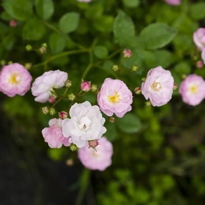 Купить Роза Садовый аромат многоцветковая