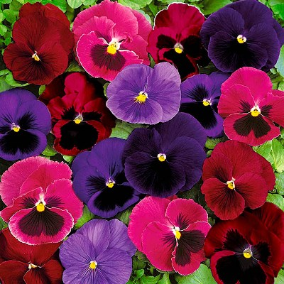 Купить Виола крупноцветковая Матрикс