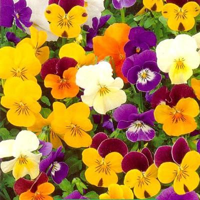 Купить Виола многолетняя Фантазия смесь окрасок