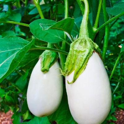Купить Баклажана белого Вкус грибов