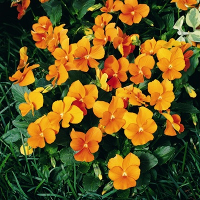 Купить Фиалка многолетняя рогатая Оранжевая