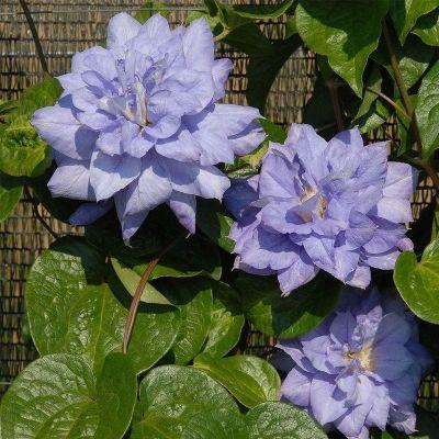 Купить Клематис голубой Блу Лайт махровый крупноцветковый