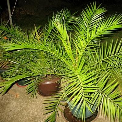купить Пальма финик канарский Луксор