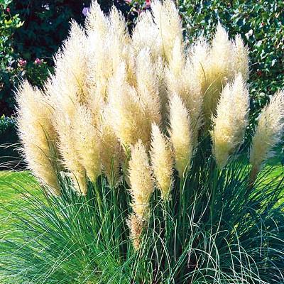 Купить Пампасная трава Плюм белая кортадерия