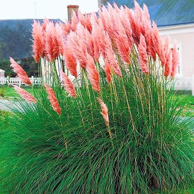Купить Пампасная трава Плюм розовая кортадерия