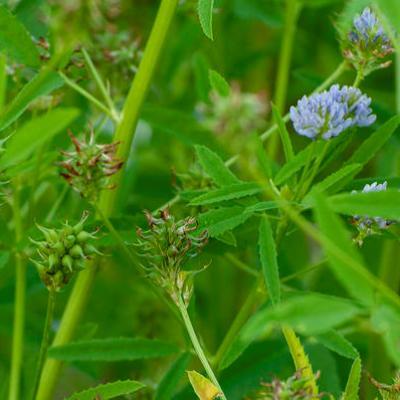 Купить семена Пажитник голубой Изумительный аромат