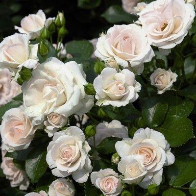 Купить Роза Аспирин флорибунда
