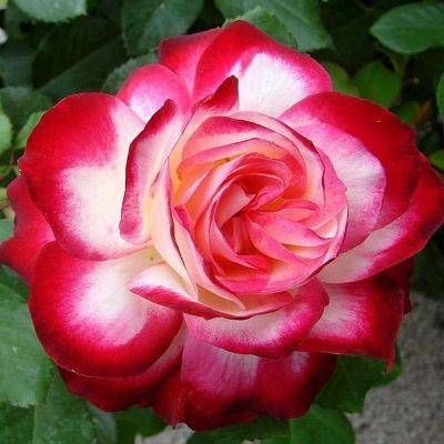 Купить Роза Юбилей Принца Монако флорибунда