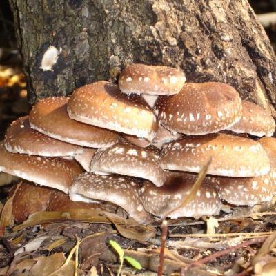 Купить гриб Шиитаке Летний