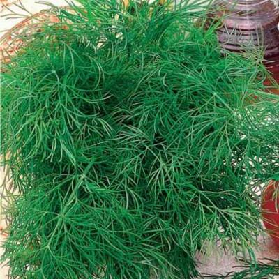 Купить семена Тмин Восточный аромат