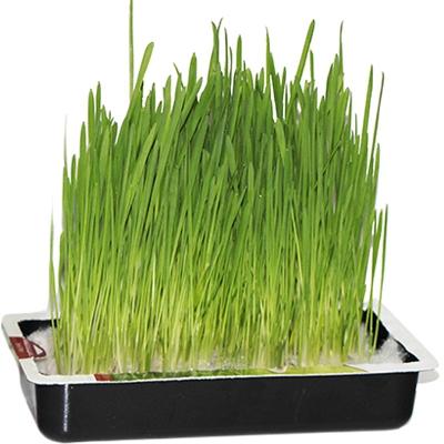 Купить семена Трава для кошек
