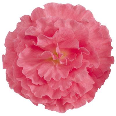 Купить Бегония Фортуна F1 пинк (розовая)