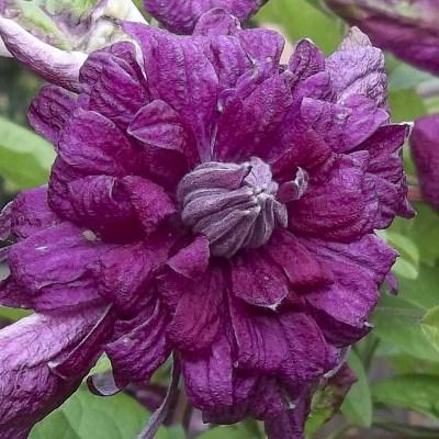 Купить Клематис махровый Пурпуреа Плена Элеганс