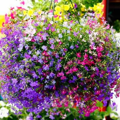 Купить Лобелия Цветущий каскад смесь