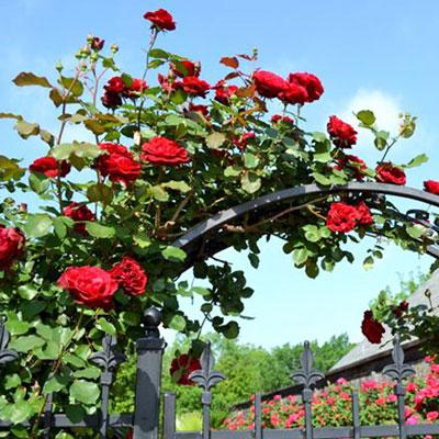 Купить Роза Дон Жуан плетистая