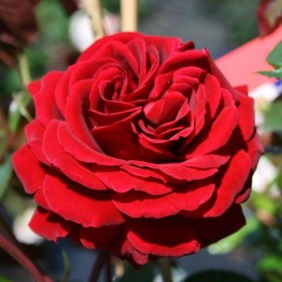 Купить Роза Найглат плетистая