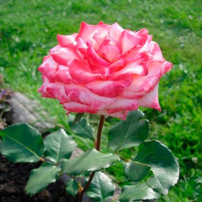 Купить розу Принцесса Монако чайно-гибридная