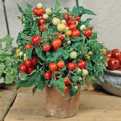 Купить томат комнатный Бейби