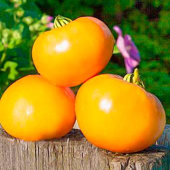 Купить томат Сахар Желтый