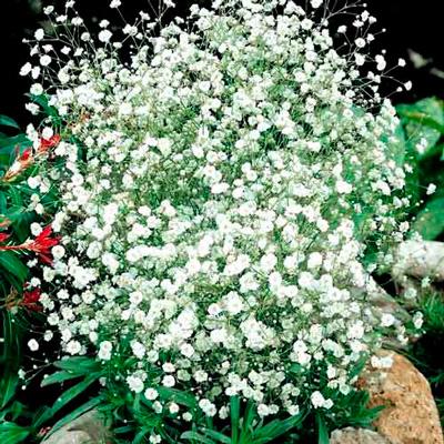 Купить Гипсофила махровая многолетняя Снежинка
