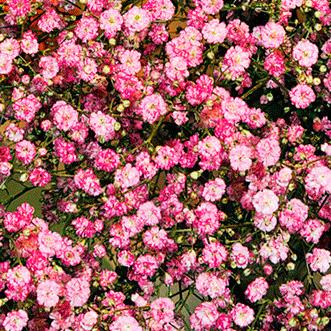 Купить Гипсофила розовая Пышное облако