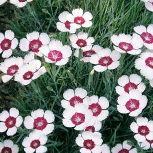 Купить Гвоздика травянка Цветущий миндаль