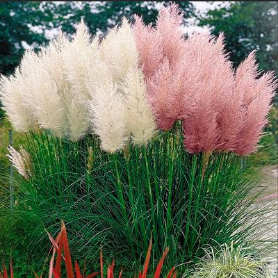 Купить Пампасная трава Микс