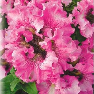 Купить Петуния крупноцветковая Супербиссима Розовое Жабо