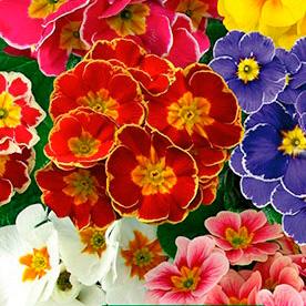 Купить Примула крупноцветковая, смесь