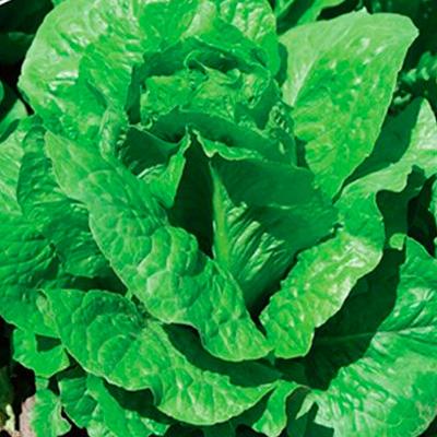 Купить салат кочанный Бернар