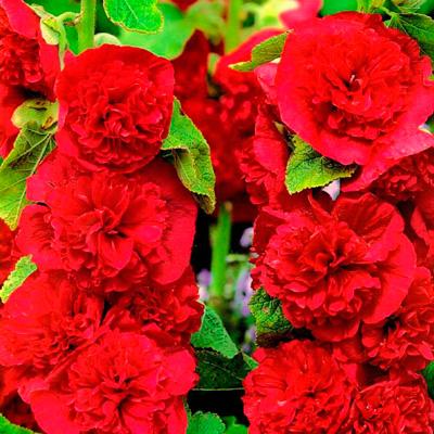 Купить Шток-роза Мажоретта красная