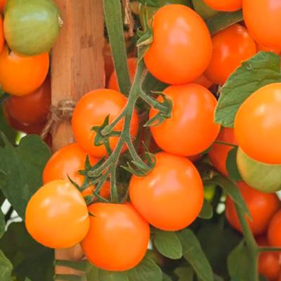 Купить Томат черри Земледелец оранжевый