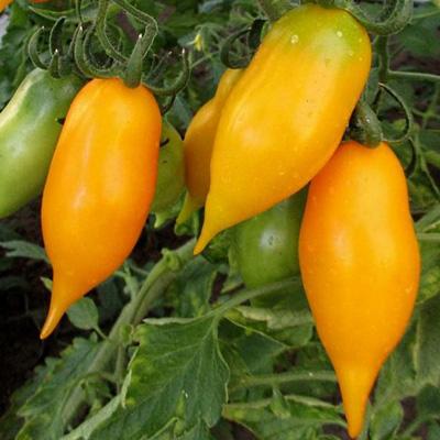 Купить томат Золотой лимон, сокровище