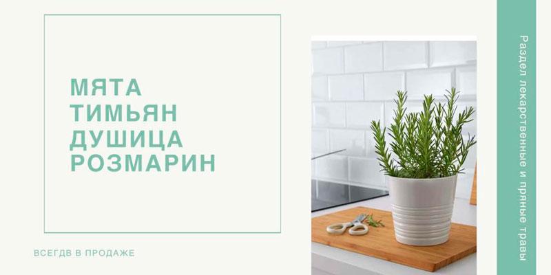 Купить семена пряных растений