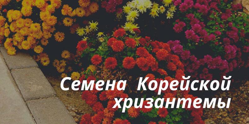 Купить корейские хризантемы