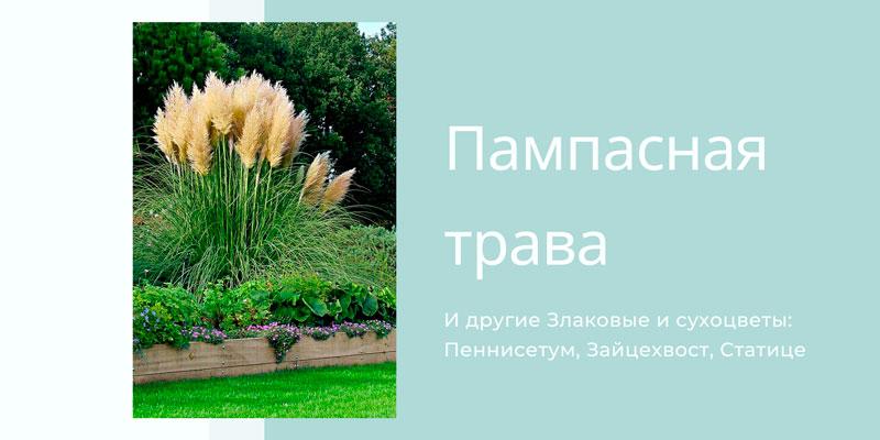 Купить семена пампасной травы, злаковых