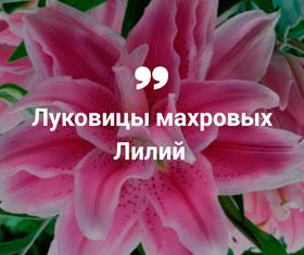 Купить луковицы лилий