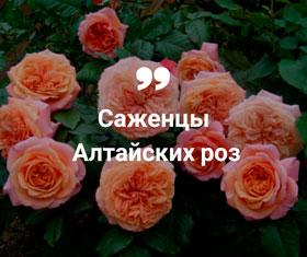 Купить алтайские розы