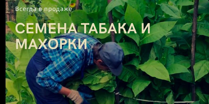 Купить семена курительного табака